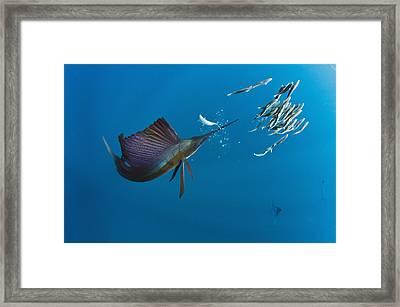 Atlantic Sailfish Istiophorus Albicans Framed Print by Pete Oxford