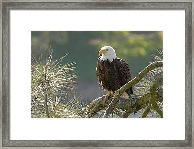 Bald Eagle Framed Print by Doug Herr