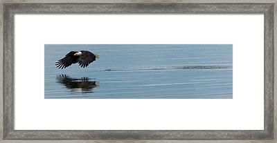 Bald Eagle Flying Framed Print by Ed Book