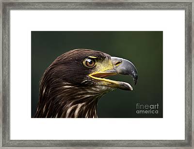 Bald Eagle Framed Print by Joerg Lingnau