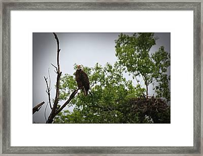 Bald Eagle Framed Print by John Ohm