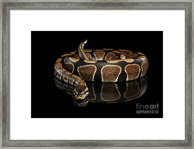 Ball Or Royal Python Snake On Isolated Black Background Framed Print