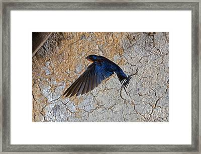 Barn Swallow Hirundo Rustica Framed Print by Gerard Lacz