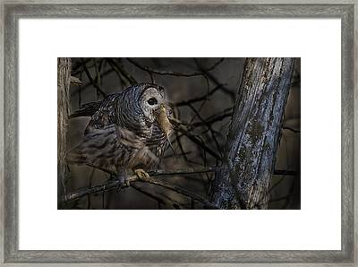Framed Print featuring the photograph Barred Owl In Pine Tree by Michael Cummings