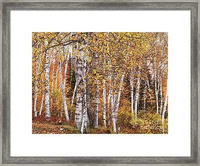 Birch Trees Fall Scenery Framed Print