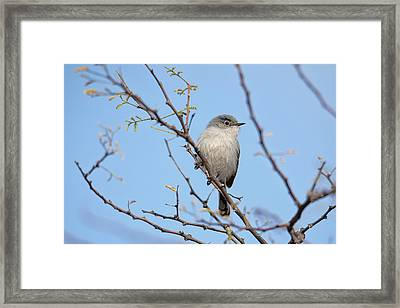 Black-tailed Gnatcatcher Framed Print