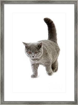 Blue British Shorthair Cat Framed Print