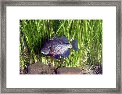 Bluegill Lepomis Macrochirus Framed Print by Ted Kinsman