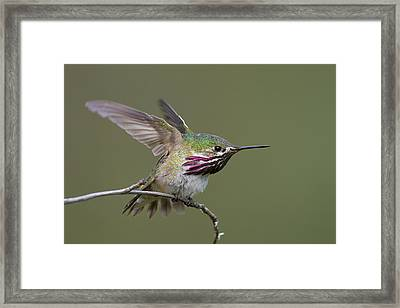 Calliope Hummingbird Framed Print