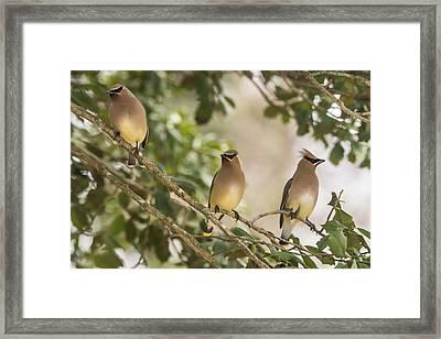 3 Cedar Waxwings  Framed Print