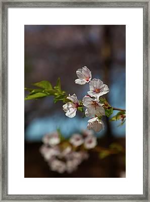 Cherry Trees Framed Print by Robert Ullmann