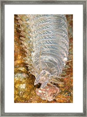 Clam Worm Framed Print by Ted Kinsman