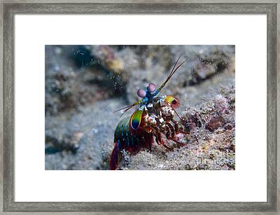 Close-up View Of A Mantis Shrimp, Papua Framed Print by Steve Jones