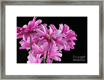 Bouquet Of Pink Colored Gerber Daisey Flower Framed Print