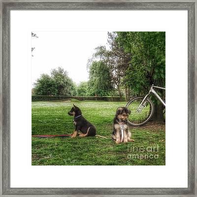 #dogs #gsd #germanshepherd Framed Print