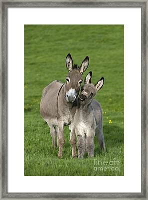 Donkey Mother And Young Framed Print by Jean-Louis Klein and Marie-Luce Hubert