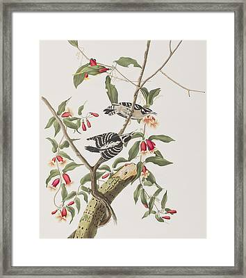 Downy Woodpecker Framed Print by John James Audubon