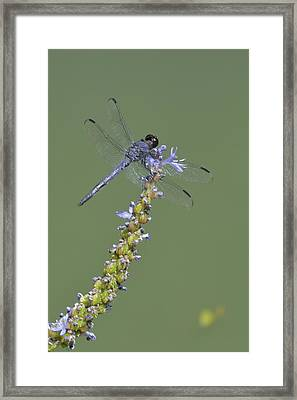 Dragon Fly Framed Print by Linda Geiger