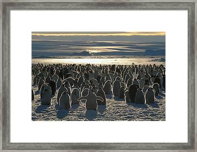 Emperor Penguin Aptenodytes Forsteri Framed Print by Pete Oxford