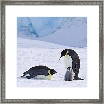 Emperor Penguins And Their Chick Framed Print by Jean-Louis Klein & Marie-Luce Hubert