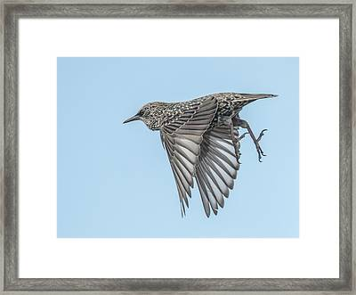 European Starling Framed Print
