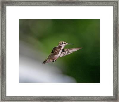 Female Ruby Throated Hummingbird Framed Print by Brenda Jacobs