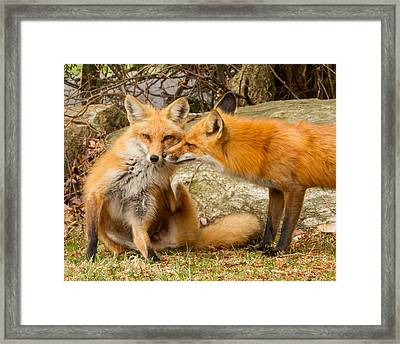 Foxes In Love Framed Print by Brian Caldwell