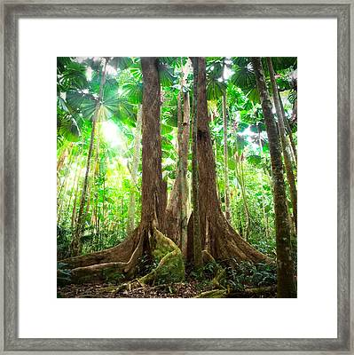 Gigantic Trees In Fan Palm Forest Framed Print