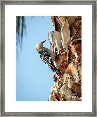 Gila Woodpecker Framed Print by Robert Bales