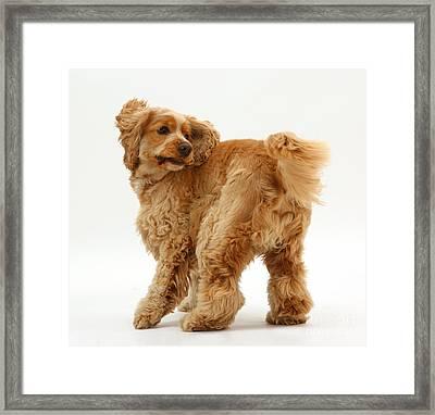 Golden Cocker Spaniel Dog Framed Print