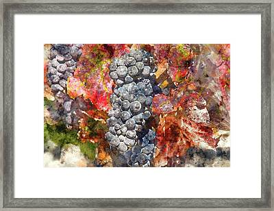 Grapes On The Vine In Autumn Framed Print
