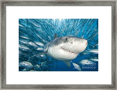Great White Shark Framed Print by Dave Fleetham - Printscapes