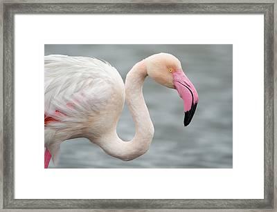 Greater Flamingo Phoenicopterus Roseus Framed Print