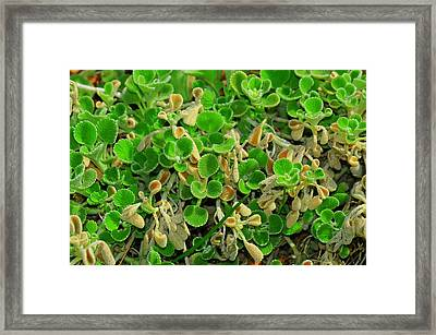 Green Leaves Framed Print by Patrick  Short