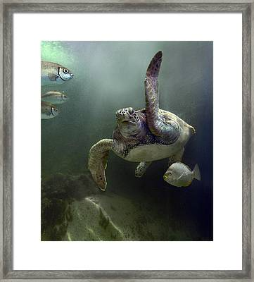 Green Sea Turtle Chelonia Mydas Framed Print by Tim Fitzharris