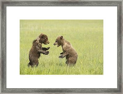 Grizzly Bear  Ursus Arctos Horribilis Framed Print by Daisy Gilardini