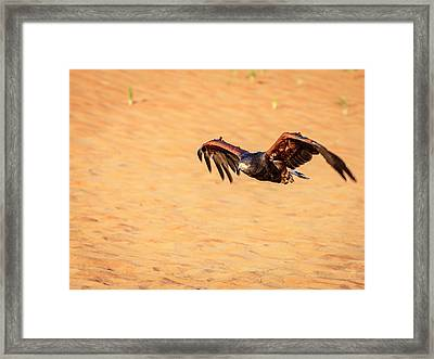 Framed Print featuring the photograph Harris Hawk by Alexey Stiop
