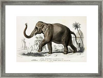 Indian Elephant, Endangered Species Framed Print