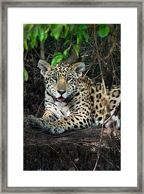 Jaguar Panthera Onca, Pantanal Framed Print