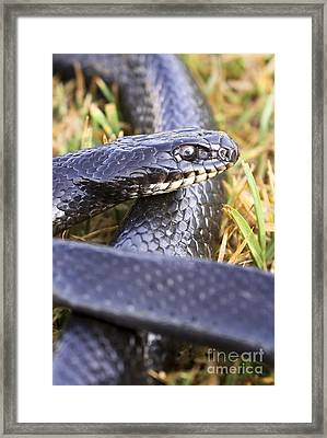 Large Whipsnake Coluber Jugularis Framed Print by PhotoStock-Israel