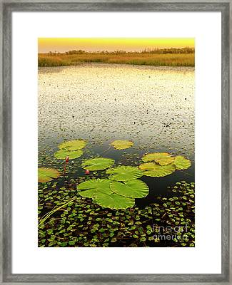 Lily Pads Framed Print by Tim Hester