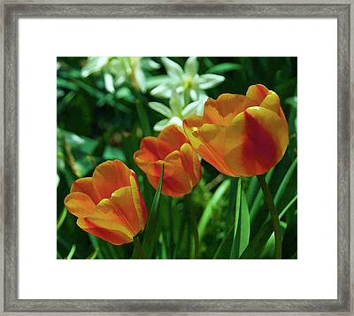 3 Lips Tulips Framed Print by Sheryl Thomas