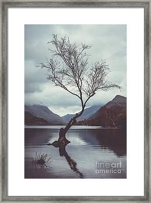 Lone Tree At Llyn Padarn Framed Print by Amanda Elwell