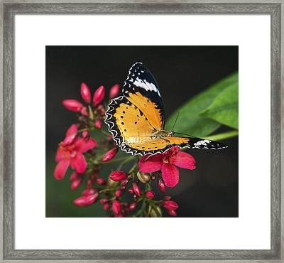 Malay Lacewing Butterfly  Framed Print by Saija Lehtonen