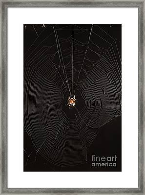 Marbled Orb Weaver Spider Framed Print
