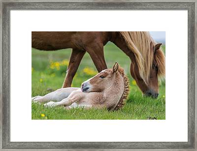 Mare And New Born Foal, Iceland Framed Print by Panoramic Images