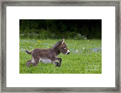 Miniature Donkey Foal Framed Print
