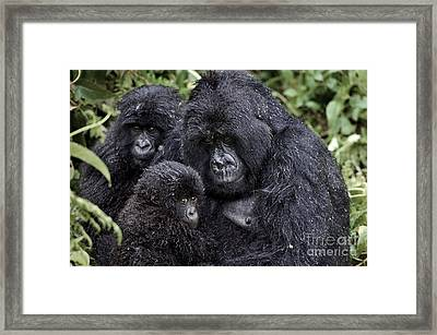 Mountain Gorilla Family Group Framed Print by Tony Camacho