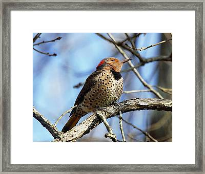 Northern Flicker Woodpecker Framed Print