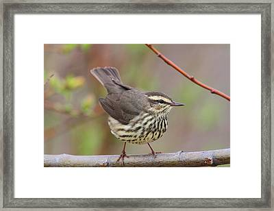 Northern Waterthrush Framed Print